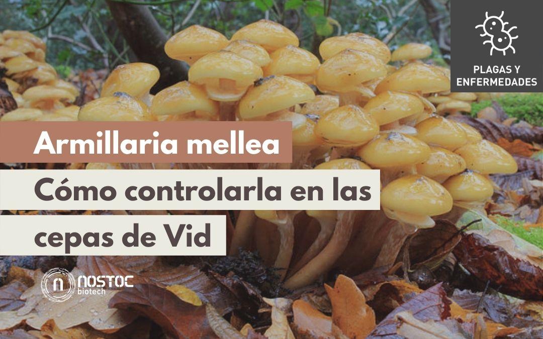 Armillaria en Vid | Control de Armillaria Mellea