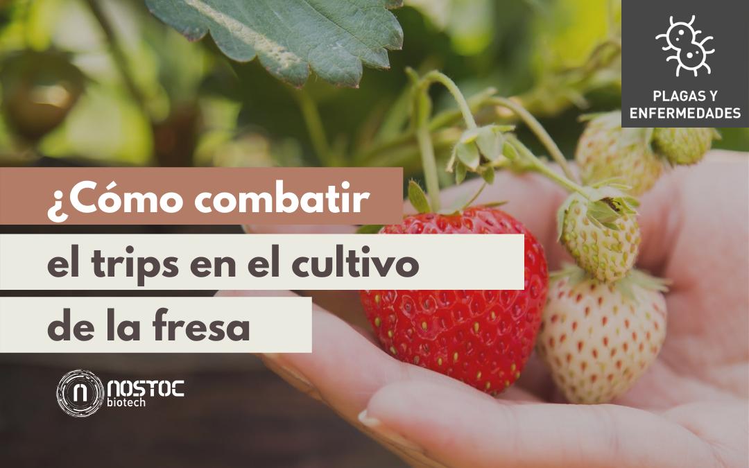¿Cómo combatir el trips en el cultivo de la fresa?