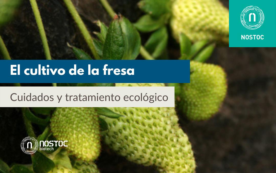 El cultivo de la fresa: cuidados y tratamiento ecológico