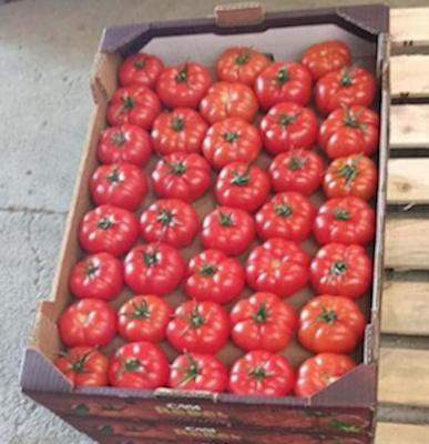 Variedad de cultivo de tomate Rebelión empleada en el estudio
